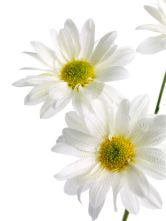 photo-24756526-white-daisies