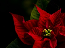 A red poinsettia in the Christmas season